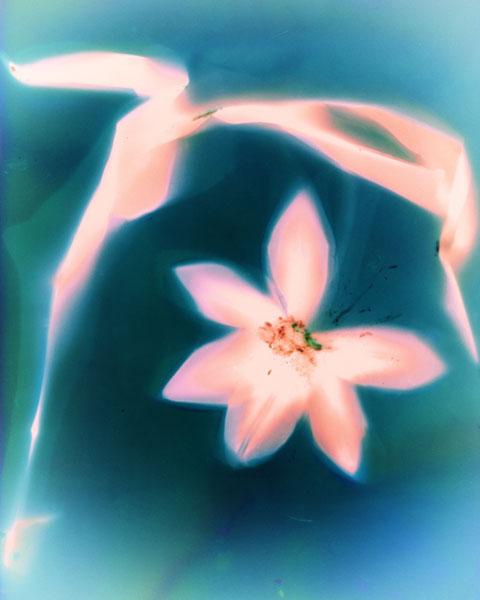 Tulip 1 by Phyllis Schwartz